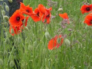 Holbeck Cemertery poppies